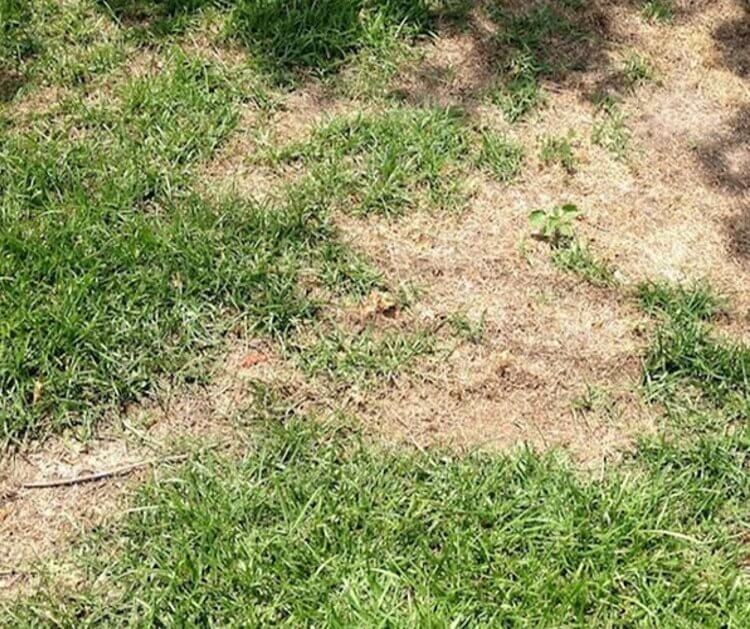 Lawn Grub What Is It And How Do You Get Rid Of It Astute Realty